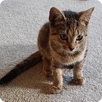 Adopt A Pet :: Cuddles - Kirkwood, DE