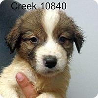 Adopt A Pet :: Creek - Greencastle, NC