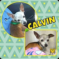 Chihuahua Mix Dog for adoption in Scottsdale, Arizona - Calvin