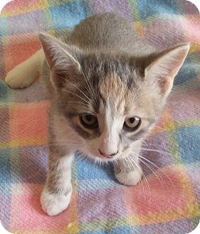 Domestic Shorthair Kitten for adoption in Woodstock, Ontario - Olivia