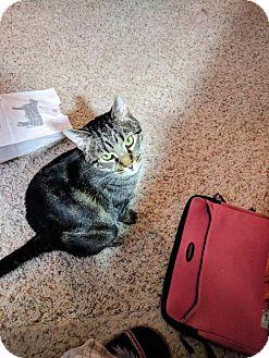 Domestic Shorthair Cat for adoption in Denver, Colorado - CAT-Jasper