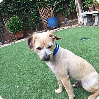 Adopt A Pet :: Ollie - El Segundo, CA