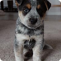 Adopt A Pet :: Max - Mesquite, TX