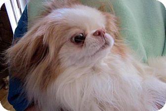 Japanese Chin Dog for adoption in Aurora, Colorado - Pixie