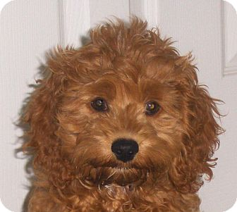 Cockapoo Puppy for adoption in Jacksonville, Florida - Amber