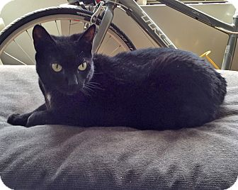 Domestic Shorthair Cat for adoption in Elmwood Park, New Jersey - Elektra