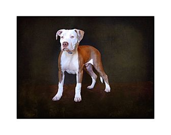 American Pit Bull Terrier/American Staffordshire Terrier Mix Puppy for adoption in Van Nuys, California - Silas