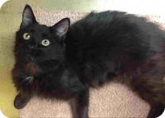 Domestic Mediumhair Cat for adoption in Houston, Texas - Tink - ball of Energy