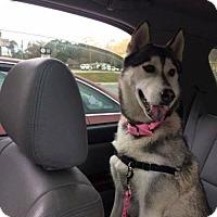 Husky Dog for adoption in Powder Springs, Georgia - IZZY