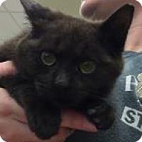 Domestic Shorthair Cat for adoption in Columbus, Georgia - Toblerone 4406
