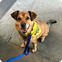 Adopt A Pet :: Pete - New York, NY