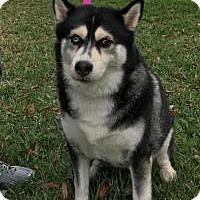 Adopt A Pet :: Bella - New Smyrna Beach, FL