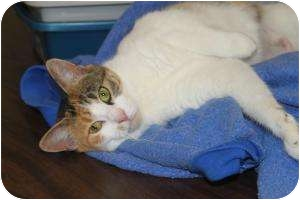 Calico Cat for adoption in North Branford, Connecticut - Scooter