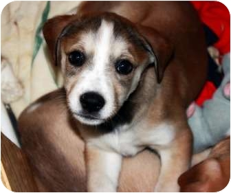 Labrador Retriever Mix Puppy for adoption in Hagerstown, Maryland - Girl puppies
