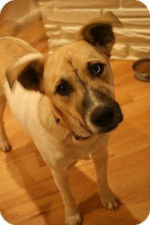 Anatolian Shepherd/Husky Mix Dog for adoption in Bedminster, New Jersey - Uno Blue