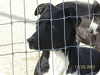 Terrier (Unknown Type, Medium)/Australian Cattle Dog Mix Dog for adoption in Mexia, Texas - Crystal