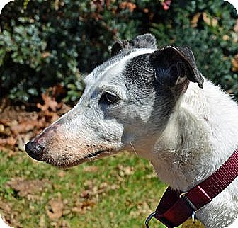 Greyhound Dog for adoption in Portland, Oregon - Poochie