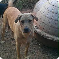 Golden Retriever Mix Dog for adoption in Blanchard, Oklahoma - Sundance