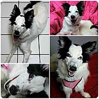 Adopt A Pet :: Kismet - Forked River, NJ