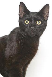 Domestic Shorthair Cat for adoption in Gloucester, Virginia - RAVEN