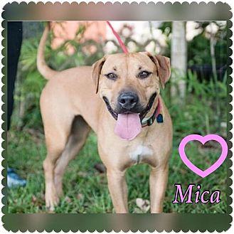 Labrador Retriever Mix Dog for adoption in hollywood, Florida - Mica