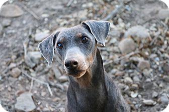 German Pinscher Dog for adoption in Fillmore, California - Randy