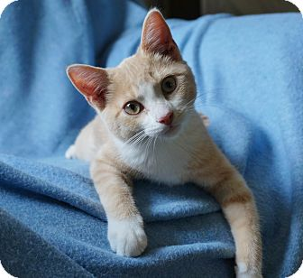 Domestic Shorthair Kitten for adoption in Manitowoc, Wisconsin - Bob