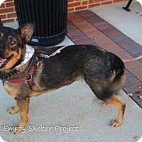 Adopt A Pet :: Nikita - Manassas, VA