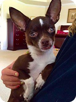 Chihuahua Mix Dog for adoption in Alpharetta, Georgia - SassyChi
