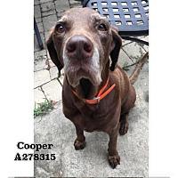 Adopt A Pet :: COOPER - Conroe, TX