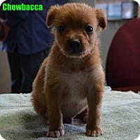 Adopt A Pet :: Chewbacca - Yreka, CA