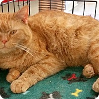 British Shorthair Cat for adoption in Concord, North Carolina - Ginger
