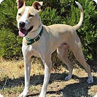 Greyhound/American Bulldog Mix Dog for adoption in Yreka, California - Dunkin