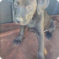 Adopt A Pet :: Zara - Dana Point, CA