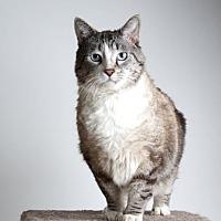 Siamese Cat for adoption in Reno, Nevada - Edward