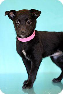 Labrador Retriever Mix Puppy for adoption in Waldorf, Maryland - Lagertha