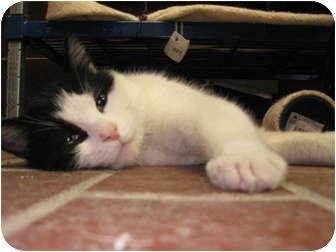 Domestic Shorthair Cat for adoption in Centerburg, Ohio - Jenkins