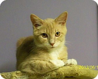 Domestic Shorthair Cat for adoption in Dover, Ohio - Ringo