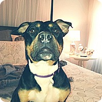 Adopt A Pet :: Lady SADIE petite and elite! - Durham, NH