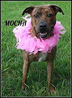 Boxer Mix Dog for adoption in Houston, Texas - Mocha