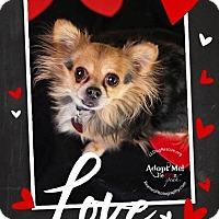 Adopt A Pet :: Petie - Shawnee Mission, KS