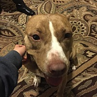 American Staffordshire Terrier Mix Dog for adoption in Goldsboro, North Carolina - Holly
