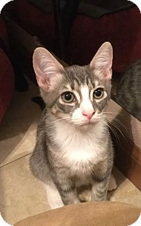 Domestic Shorthair Kitten for adoption in Charlotte, North Carolina - A..  Jojo
