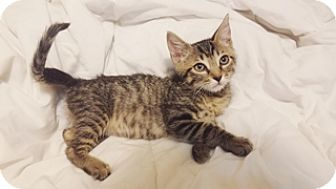 Egyptian Mau Kitten for adoption in Cerritos, California - Sally