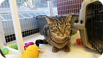 Domestic Shorthair Cat for adoption in Reisterstown, Maryland - Harford