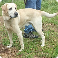 Adopt A Pet :: Chester-Yellow Labrador Retrie - Gaffney, SC