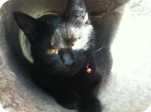 Domestic Shorthair Cat for adoption in Omaha, Nebraska - Ali
