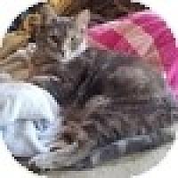 Adopt A Pet :: Crikkit - Vancouver, BC