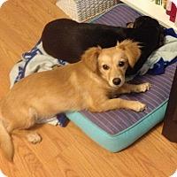 Adopt A Pet :: Gwen - Adoption Pending - Gig Harbor, WA