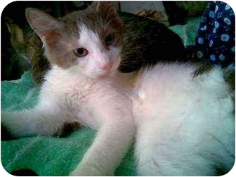 Domestic Mediumhair Cat for adoption in Proctor, Minnesota - Bambino